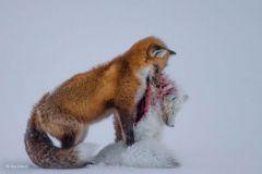 A tale of two foxes (Canon EOS-1D X + 200-400mm f4 lens + 1.4x extender at 784mm; 1/1000 sec at f8; ISO 640)